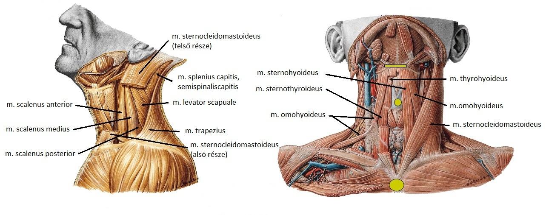nyaki izom hipertónia
