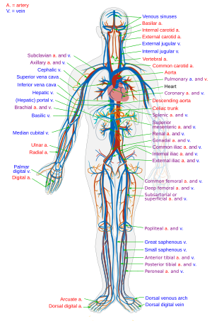 carotis artéria és magas vérnyomás