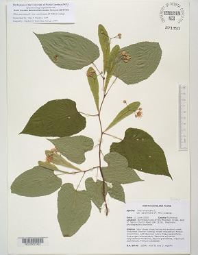 Alacsony vérnyomásra használt a hársfa tea
